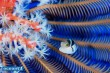 パラオ・ペリリューのフグの幼魚 (写真:越智隆治)