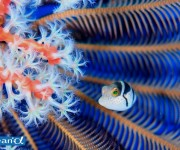 次の記事: パラオ・ペリリューのフグの幼魚 (写真:越智隆治)