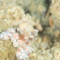 奄美大島のフリソデエビ