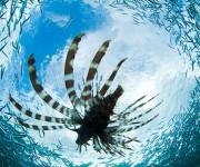 前の記事: ミノカサゴが爆発的に増えている海、その原因と駆除の方法とは?