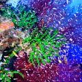 ニューカレドニア、クマックのサンゴ