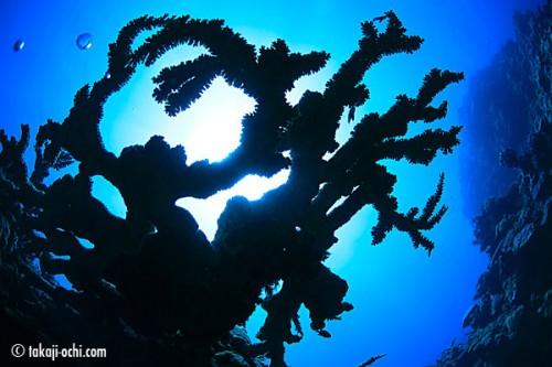 ニューカレドニア、ポワンディミエのサンゴ