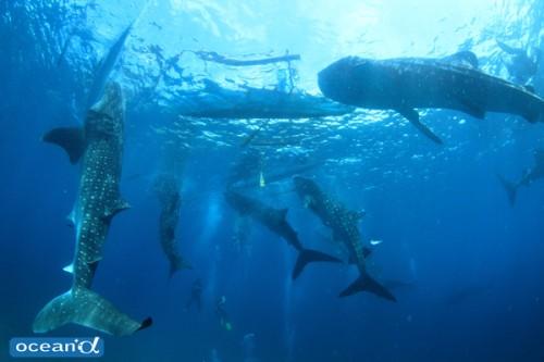 1枚の写真に8匹のジンベエザメが!越智カメラマンの最高記録