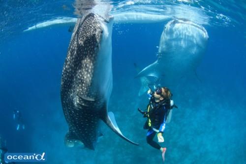 エサを吸い込むため立ち泳ぎをするジンベエザメ