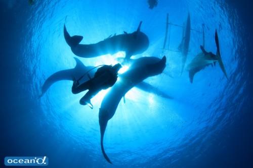 セブ島オスロブのジンベエザメ