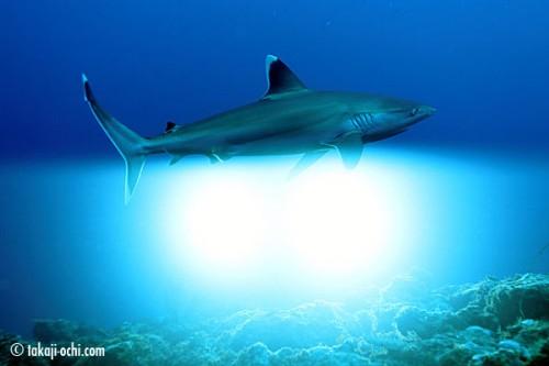 ニューカレドニアのサメ(ストロボ同時発光)