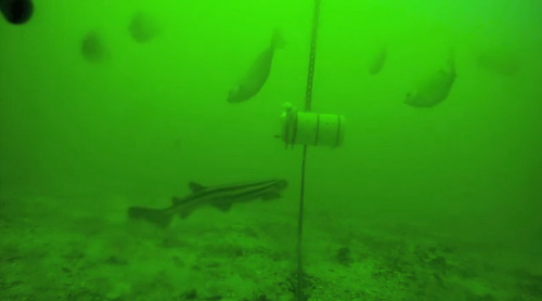 タコがトラザメの動きを封じる動画
