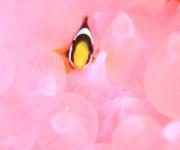 前の記事: 【みなべ・田辺】ピンクが映えまくるクマノミの住みか・ピンクハ