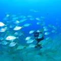 メトル島・テパバでのコガネシマアジの群れ