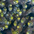マクロレンズで撮ったスカシテンジクダイの群れ(撮影:岡田裕介)