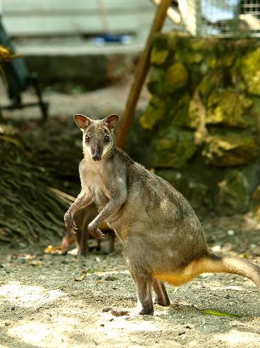パプアニューギニア、ロロアタのワラビー