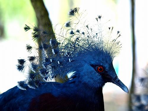 パプアニューギニア、ロロアタのオウギバト