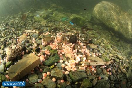 川底に散らばる無数の鮭の卵(撮影:越智隆治)