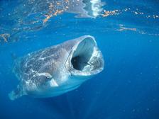 whale_shark_info