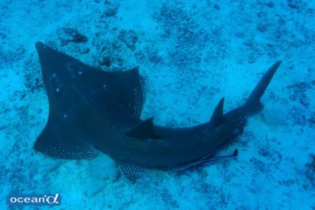 ニューカレドニアのギターシャーク(トンガリサカタザメ)(撮影:越智隆治)