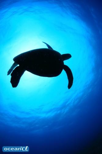 ニューカレドニアのアオウミガメ(撮影:越智隆治)