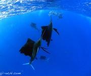 前の記事: バショウカジキスイム最終日。釣れる群れと釣れない群れの違いと