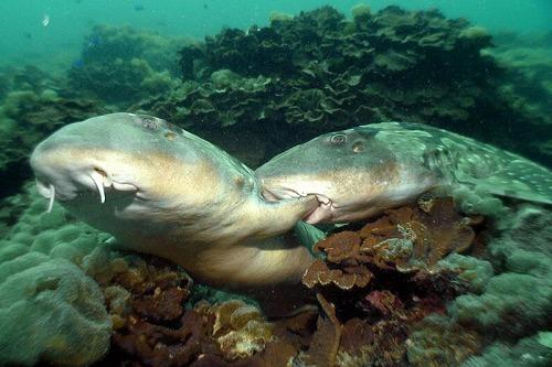 貴重なシロボシテンジク(鮫)の交尾シーンも!NHK「♂と♀(オスとメス)」で海の生きものの色恋物語