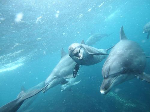御蔵島のイルカ(撮影:鈴木あやの)