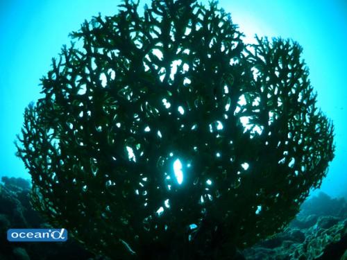 セブ島のサンゴのシルエット(撮影:越智隆治)