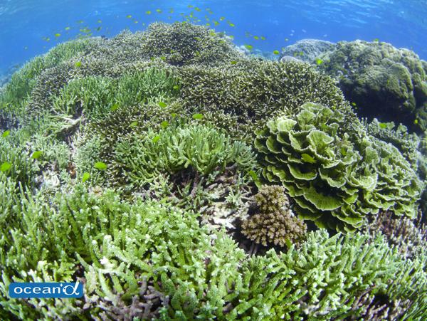オニヒトデの駆除、サンゴの移植の是非 ~ダイバーにできること~