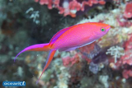 鮮やかなカラーリングが目を引くオオテンハナゴイ