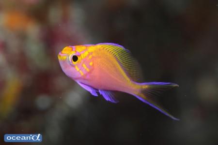 小さな個体ほどかわいらしさが出るハナゴンベの幼魚