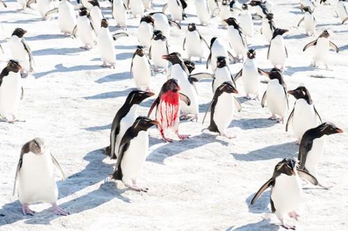 フォークランド諸島のイワトビペンギン(撮影:岡田裕介)