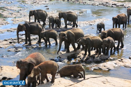 スリランカ、ビンナワラ・ゾウの孤児園(撮影:越智隆治)