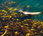 前の記事: 地球の反対側、フォークランド諸島の凪いだ海を泳ぐオットセイ~