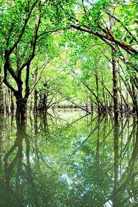 沖縄の壁紙石垣島マングローブ林