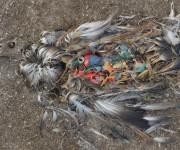 前の記事: 海のゴミを誤って食べてしまった海鳥たちの悲しい末路を記録した