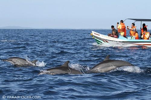 観光客を乗せたボートがハシナガイルカの群れと並走する