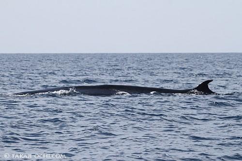 ニタリクジラの背中