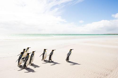 フォークランド諸島のキングペンギン