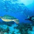 バリカサグ島のカメ(撮影:越智隆治)