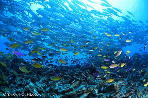 バリカサグ島のギンガメアジ(撮影:越智隆治)