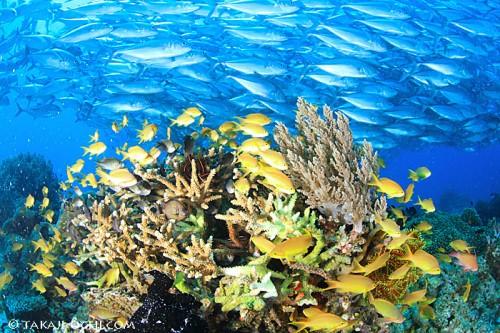 3.バリカサグ:ギンガメアジの群れとカメや他の魚たちとのコラボ写真