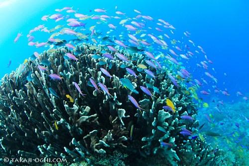 1.スミロン:浅瀬のサンゴとその上に群れるスズメダイやハナダイ