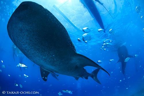 2.オスロブ:ジンベエザメ。しかも、複数個体やダイバー絡み、自分撮りetc