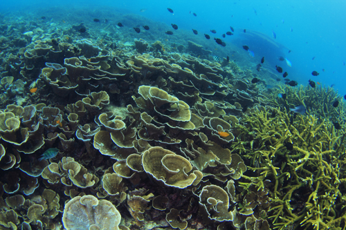マレーシア、レダンのサンゴ