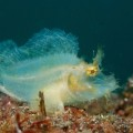 ボロカサゴの幼魚(大瀬崎)