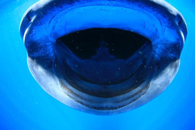ジンベエザメの画像 p1_30