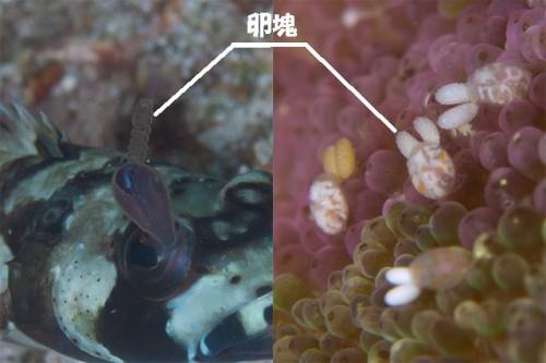 左:メダマイカリムシ、→:コペポーダ