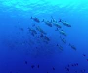 次の記事: 【阿嘉島】浅場にあつまるギンガメアジの群れ