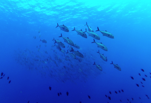 【阿嘉島】浅場にあつまるギンガメアジの群れ