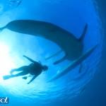 セブ島のジンベエザメとダイバーのシルエット(撮影:越智隆治)