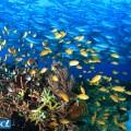 ギンガメの群れは、サンゴの上を舞うハナダイやスズメダイともコラボできちゃう