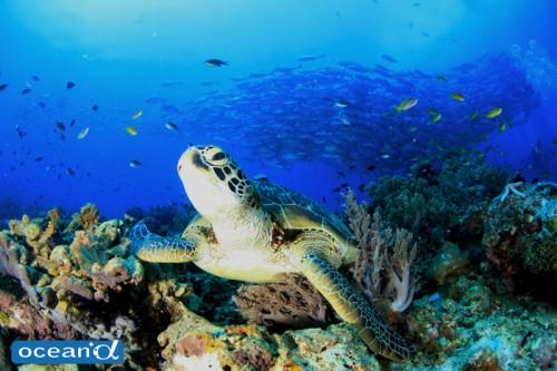 セブ島のウミガメ(撮影:越智隆治)