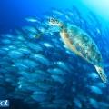 バリカサグのアオウミガメとギンガメアジ(撮影:越智隆治)